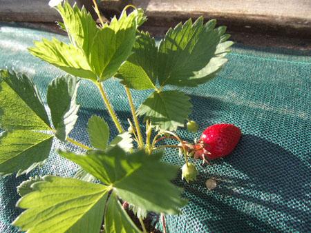 premières fraises 9-mai111