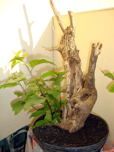 Bougainvillea. Please help with branches. 310