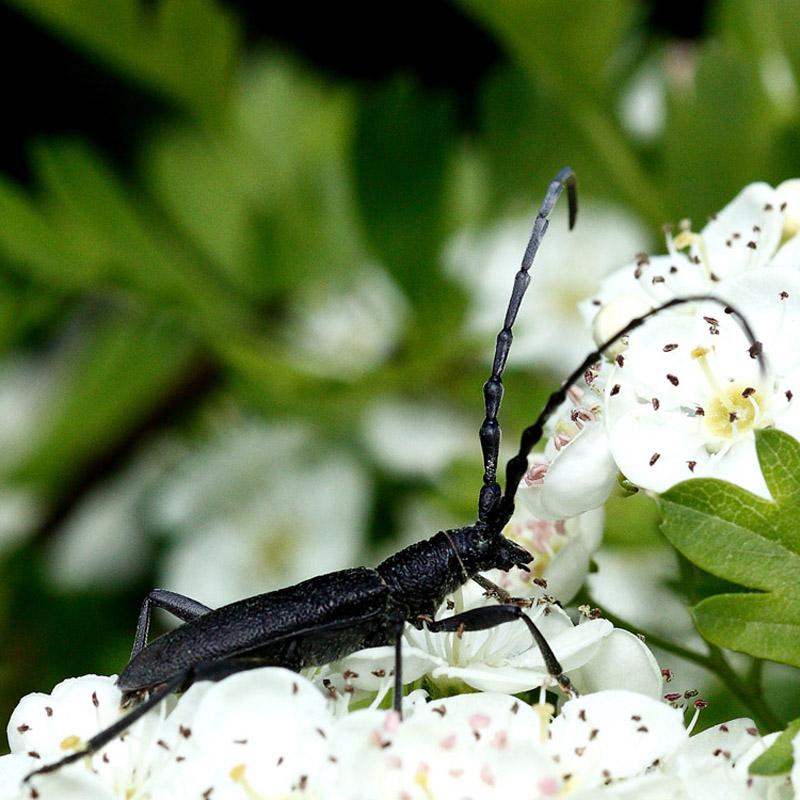 [Cerambyx scopoli] Quel est cet insecte tout noir ? Insect11