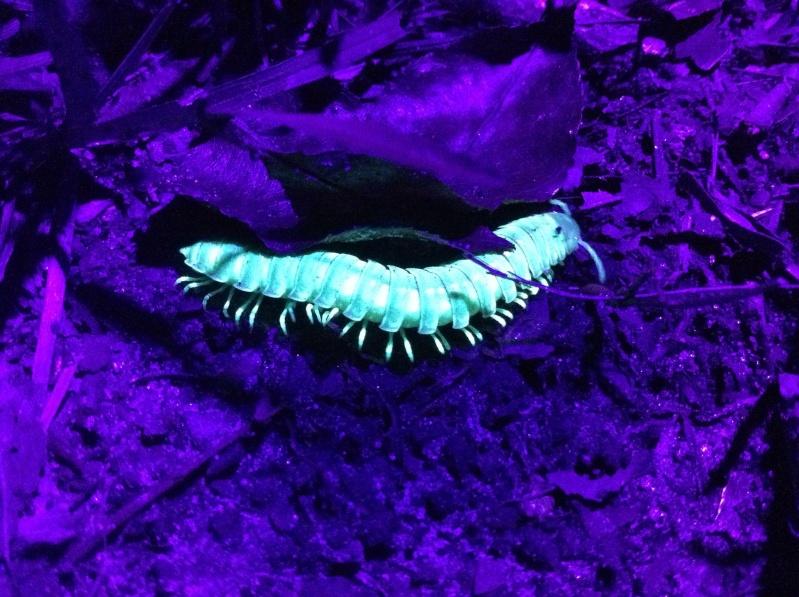 Millipedes that glow under UV. Photo_11