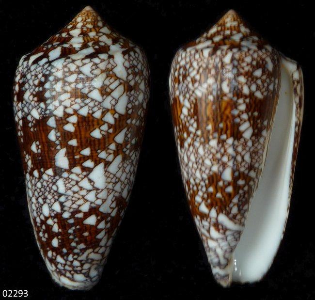 Conus (Cylinder) neovicarius   da Motta, 1982 - Page 2 02293_10