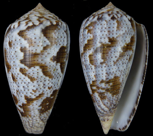 Conus (Pionoconus) achatinus  Gmelin, 1791 - Page 2 Achati10