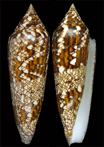 Conus (Cylinder) bengalensis   Okutani, 1968 - Page 2 Bengal10