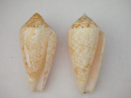 Conus (Cylinder) victoriae   Reeve, 1843 Conus_10