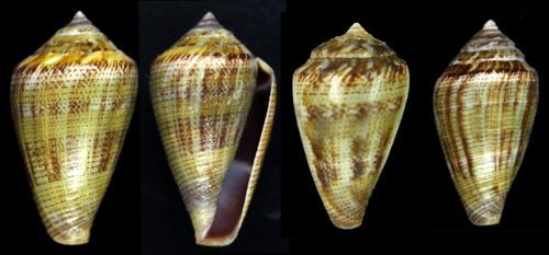 Conus_desidiosus Desidi10