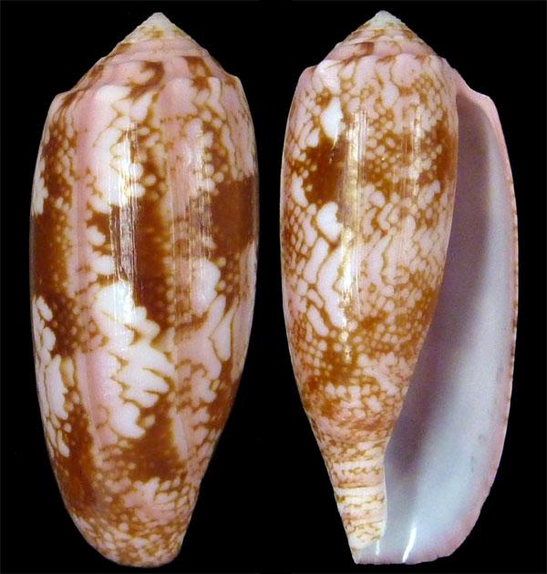 Conus (Gastridium) eldredi   Morrison, 1955 Eldred11
