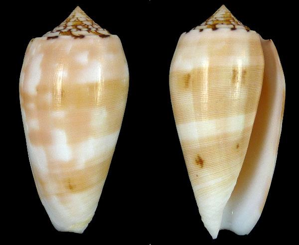 Conus (Pionoconus) floridus (Sowerby II, 1858) voir Conus (Pionoconus) striatus Florid10