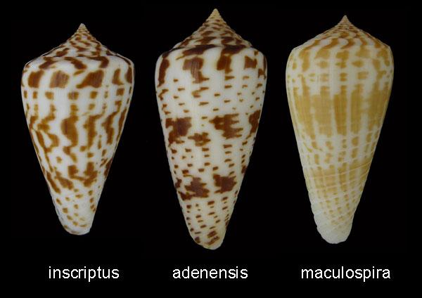 Conus (Phasmoconus) adenensis (E. A. Smith, 1891) Inscri10