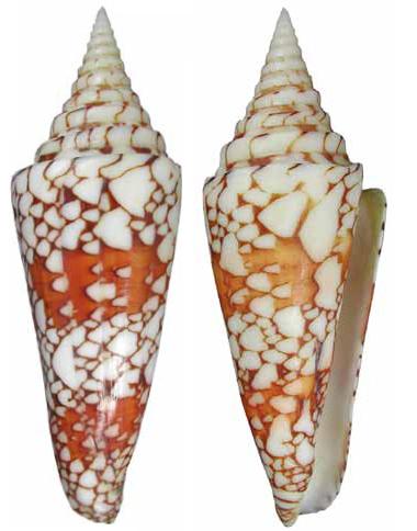 Conus (Leptoconus) milneedwardsi lemuriensis   Wils & Delsaerdt, 1989 Leptoc10