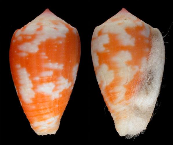Conus (Pionoconus) morrisoni   G Raybaudi Massilia, 1991 Morris10