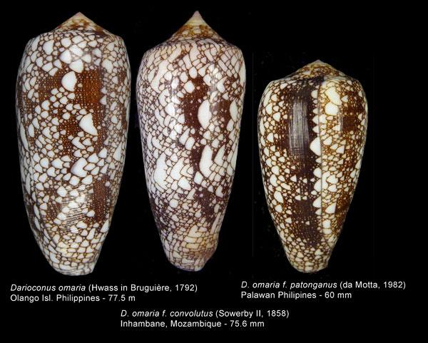 Conus (Darioconus) omaria convolutus     GB Sowerby II, 1858  Omaria10
