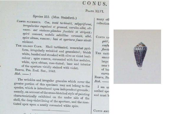 Conasprella (Ximeniconus) mindana  (Hwass in Bruguière, 1792) Plumbe10