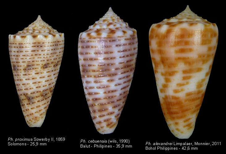 Conus (Phasmoconus) cebuensis   Wils, 1990 - Page 2 Proxim10