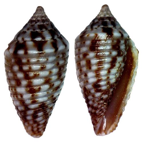 Conasprella (Ximeniconus) allamandi (Petuch, 2013) Sans-t10