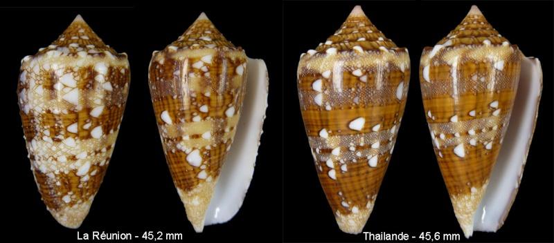 Conus (Cylinder) pseudocedonulli   Blainville, 1818 - Page 2 Sans-t13