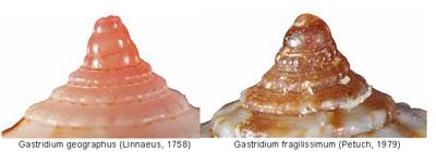 Conidae Conus (Kalloconus) - Le genre, ses espèces, la planche 03/03 Sans-t14