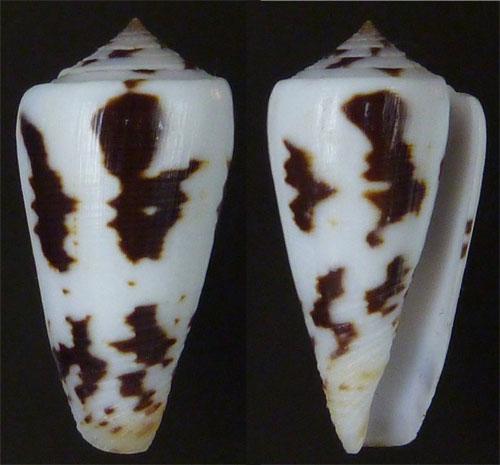 Conus (Pionoconus) frauenfeldi (Crosse, 1865) voir Conus (Pionoconus) striatus Sans-t15