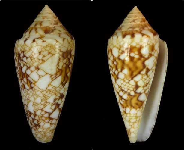 Conus (Cylinder) scottjordani (Poppe, Monnier & Tagaro, 2012) Telatu10