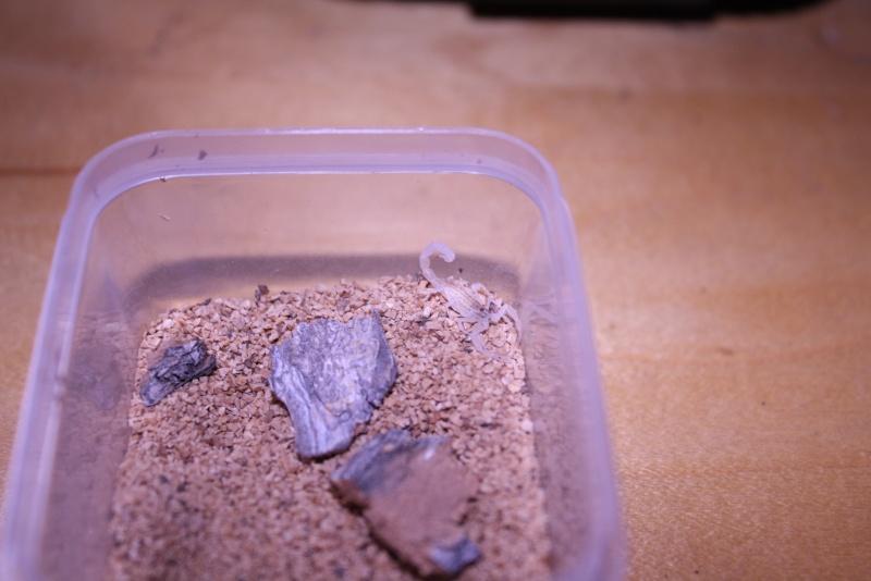 [F.S.]:RARE-2i Mesobuthus gibbosus scorplings!-U.S. Img_7712