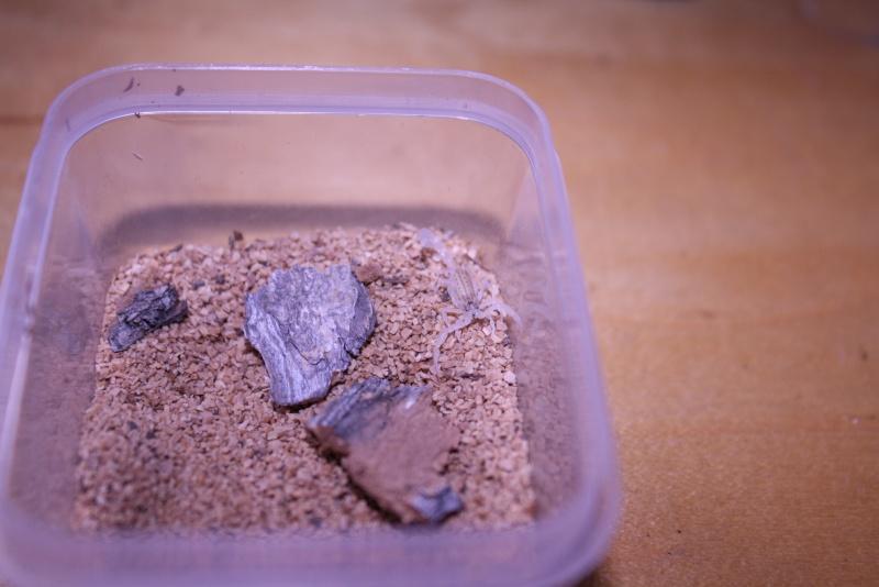 [F.S.]:RARE-2i Mesobuthus gibbosus scorplings!-U.S. Img_7714