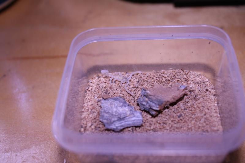 [F.S.]:RARE-2i Mesobuthus gibbosus scorplings!-U.S. Img_7715