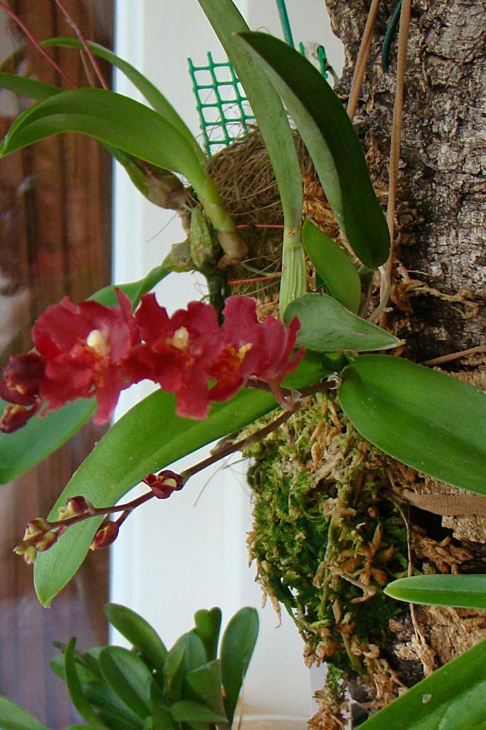 Miniatur- Orchideen - Seite 4 Howear10