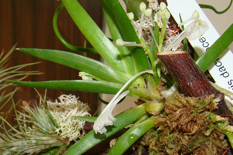 Miniatur- Orchideen - Seite 4 Podang10