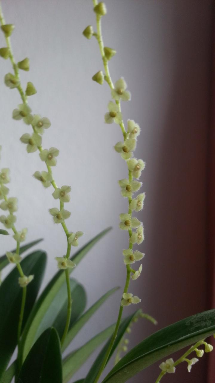 Miniatur- Orchideen - Seite 4 Stelis10