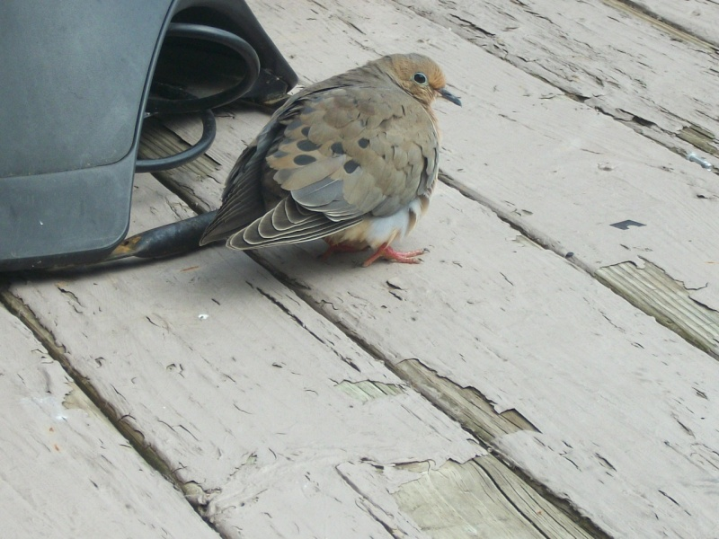 Mourning dove without any tail feathers:( 100_7213