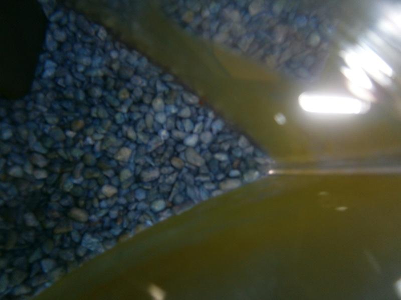 Verdure (algue) sur paroies aquarium de mon betta P5290410