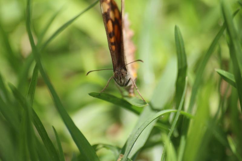 Photo papillon en macro Img_1211