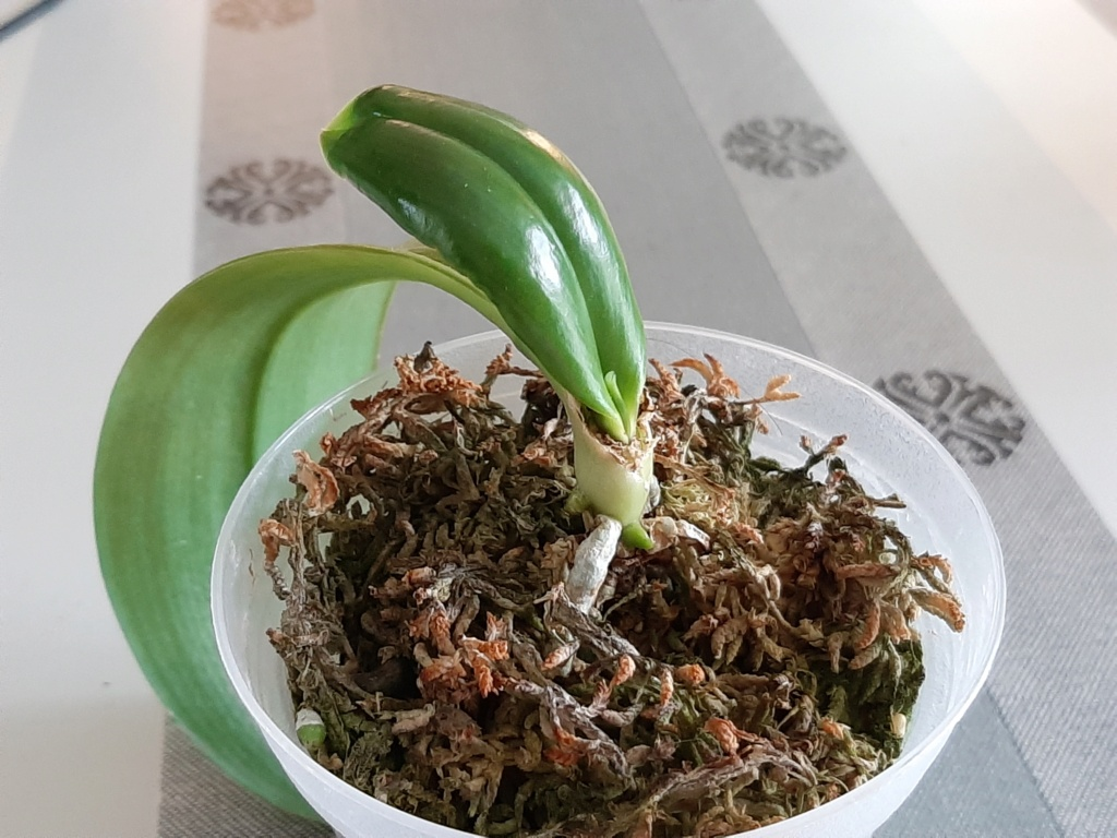Evolution problème Phalaenopsis maculata... 114