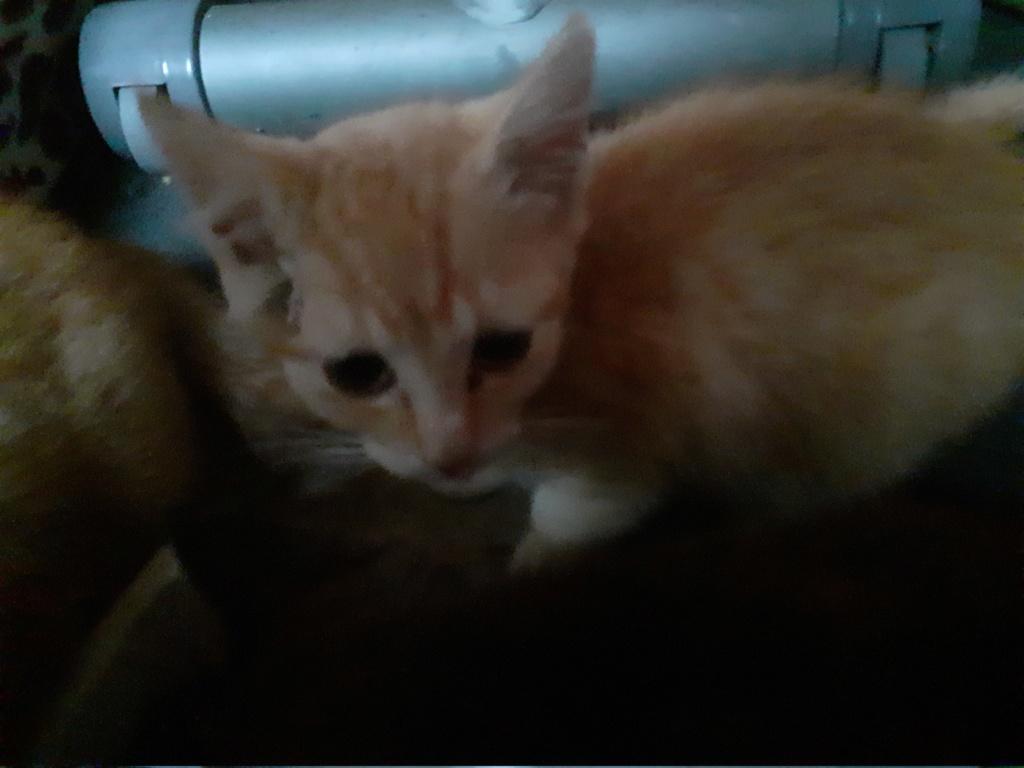 Perle petite chatte rousse de 3 mois 20191021