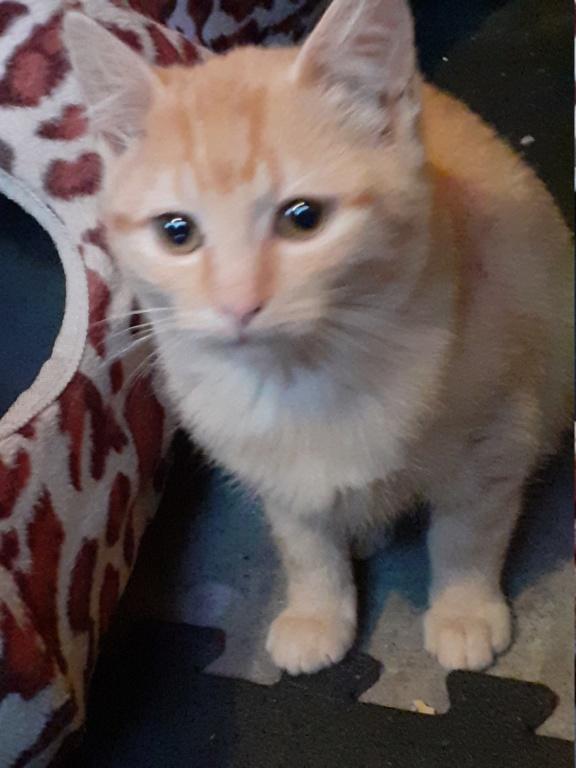 Perle petite chatte rousse de 3 mois 20191114