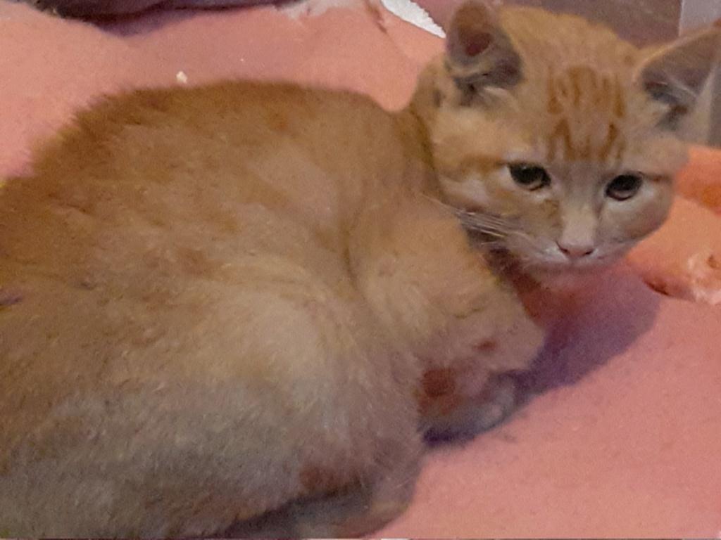 Nougat chaton roux  3 mois 20191115