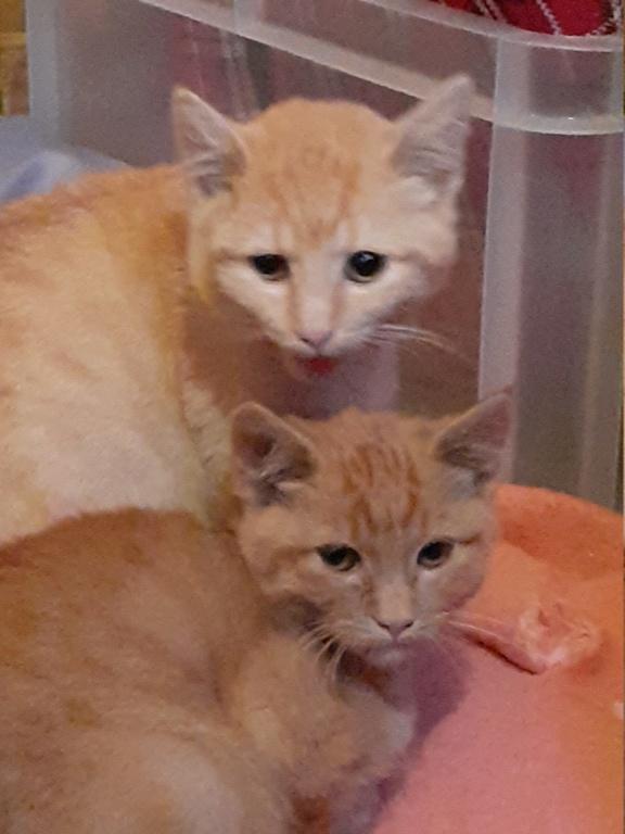 Nougat chaton roux  3 mois 20191117