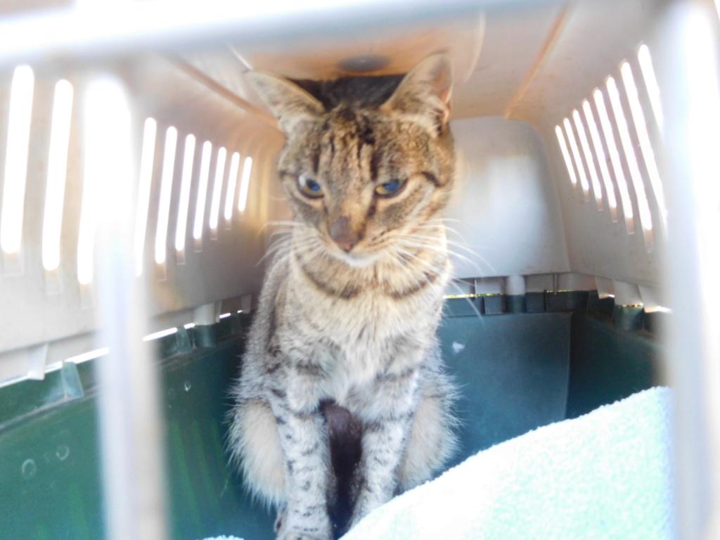 Jade chatte tigrée 1 an Dscn9013