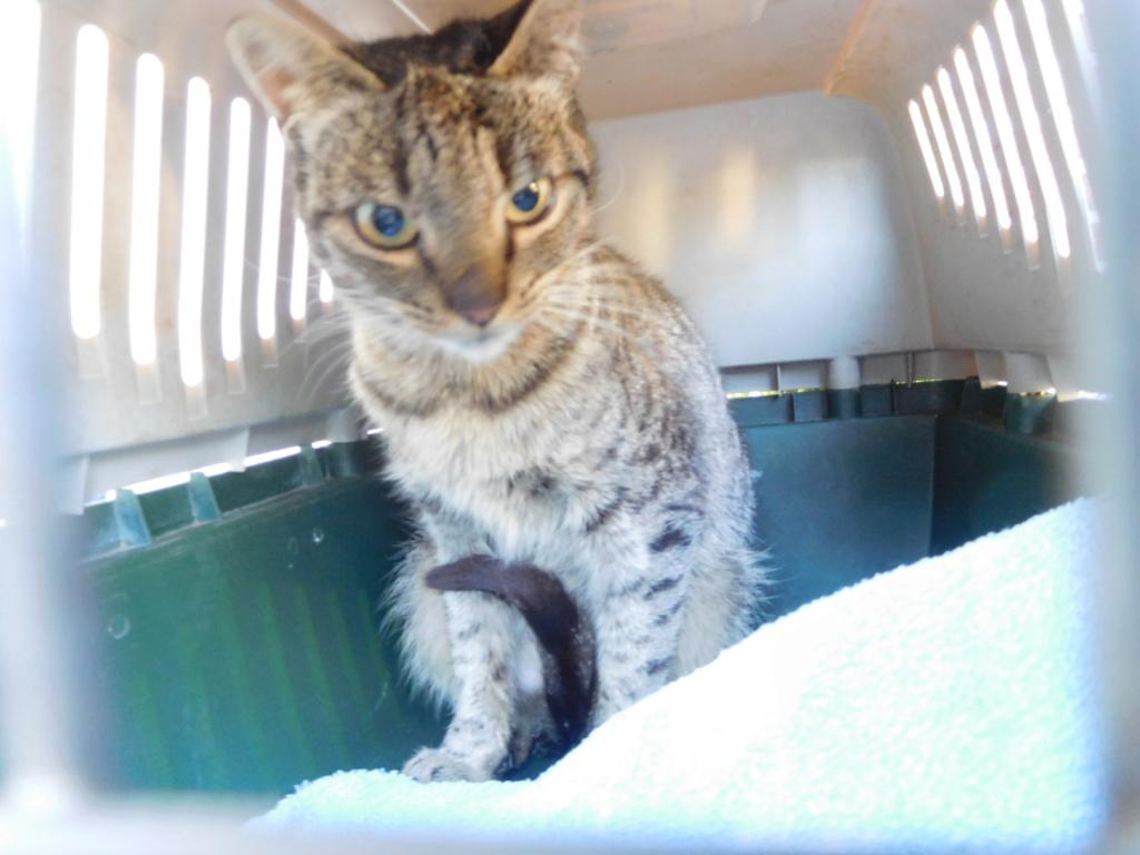 Jade chatte tigrée 1 an Dscn9015