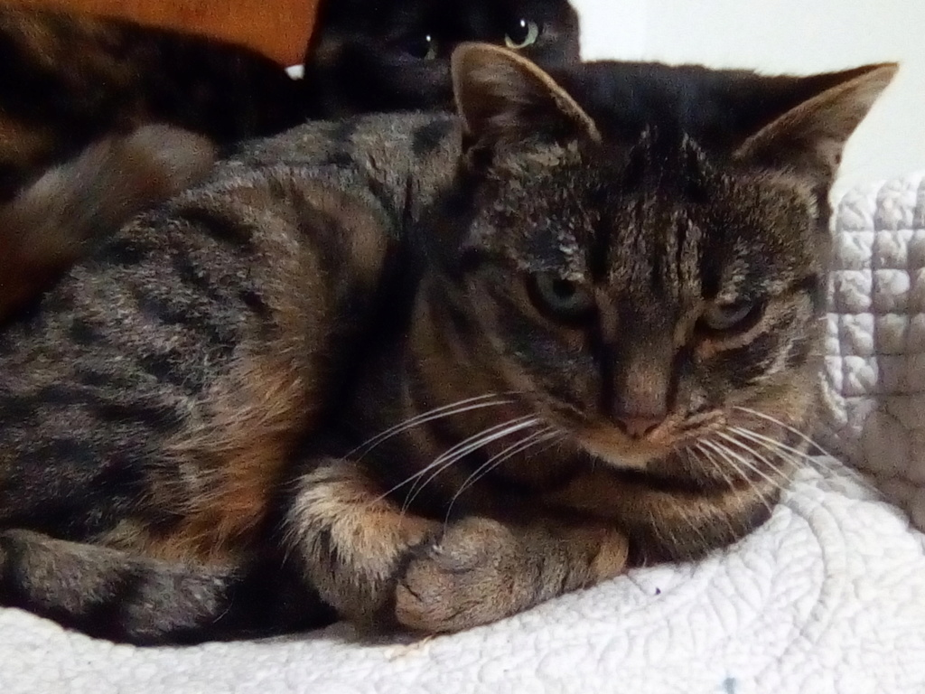 Jade chatte tigrée 1 an Img_2040