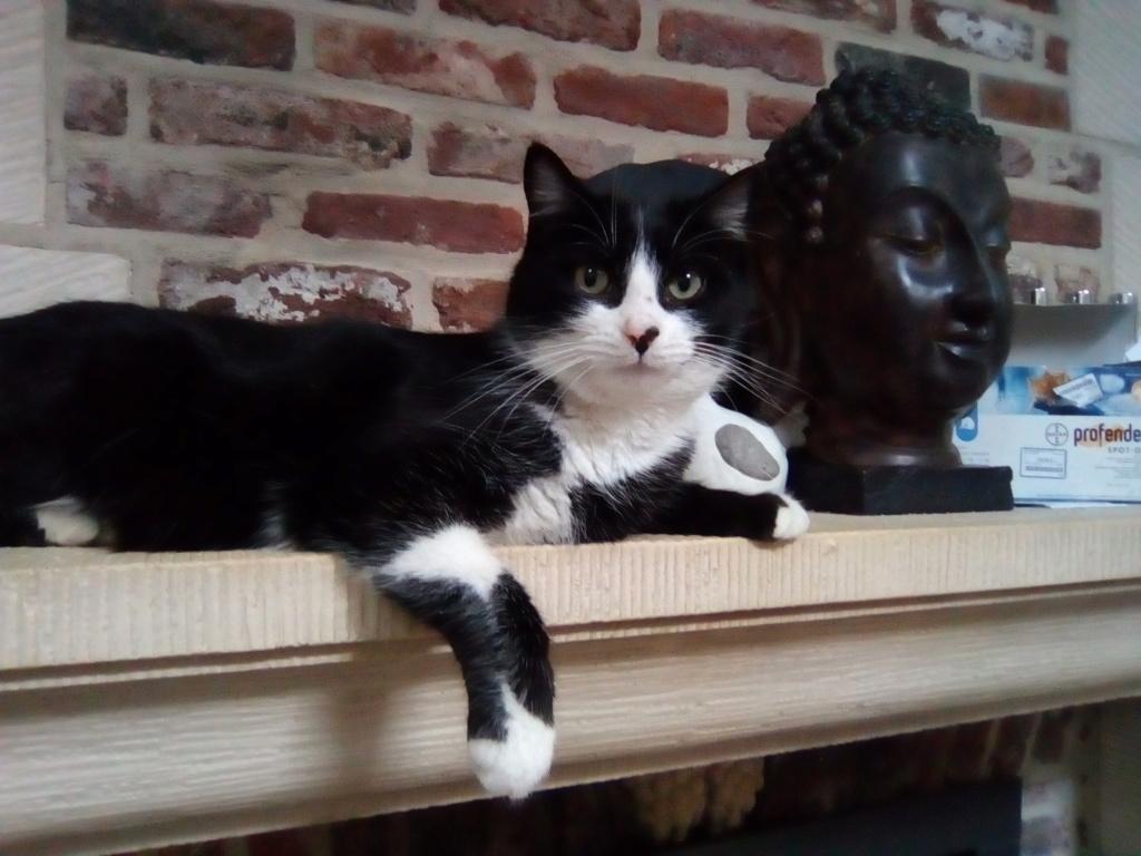 Tuxo chat noir et blanc né en septembre 2016 Img_2053
