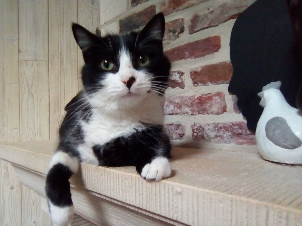 Tuxo chat noir et blanc né en septembre 2016 Img_2054