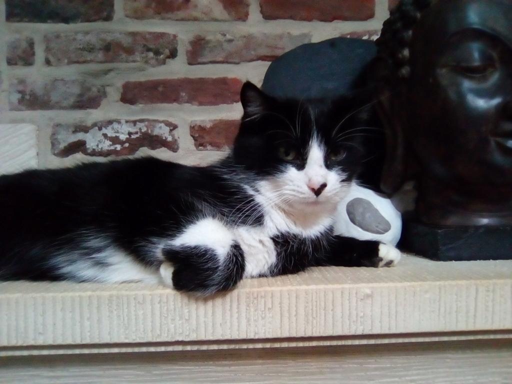Tuxo chat noir et blanc né en septembre 2016 Img_2055