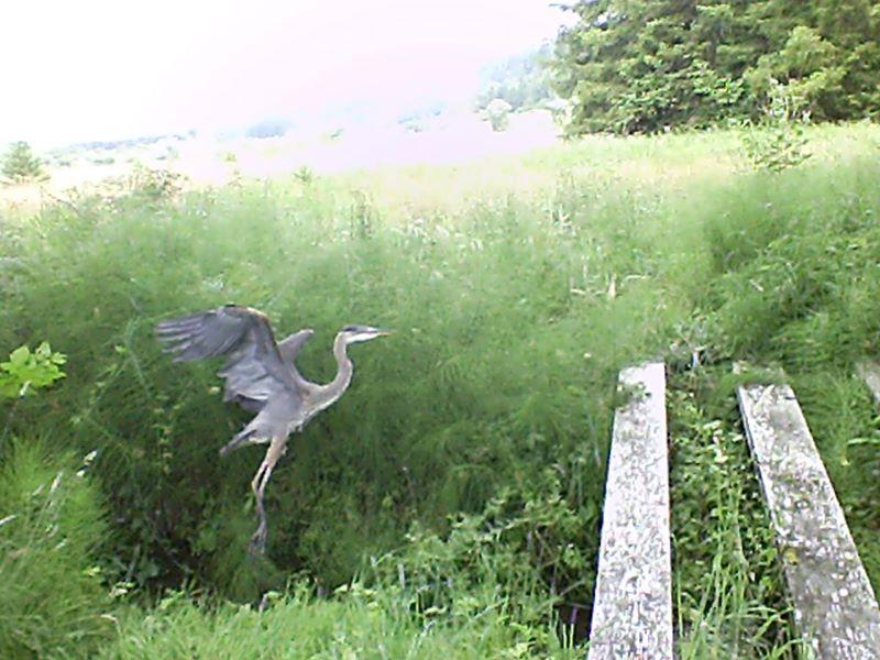 running Heron11