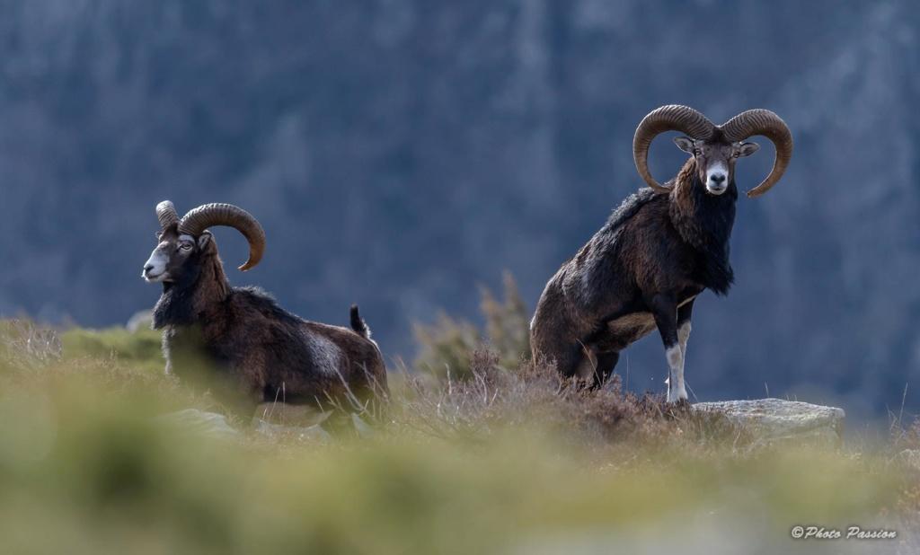 Mouflon du Caroux Mouflo12