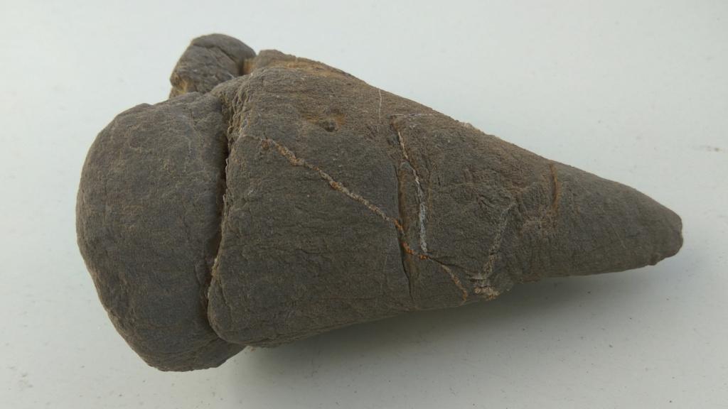 Roca arenisca con restos de conchas de bivalvos fósiles 315