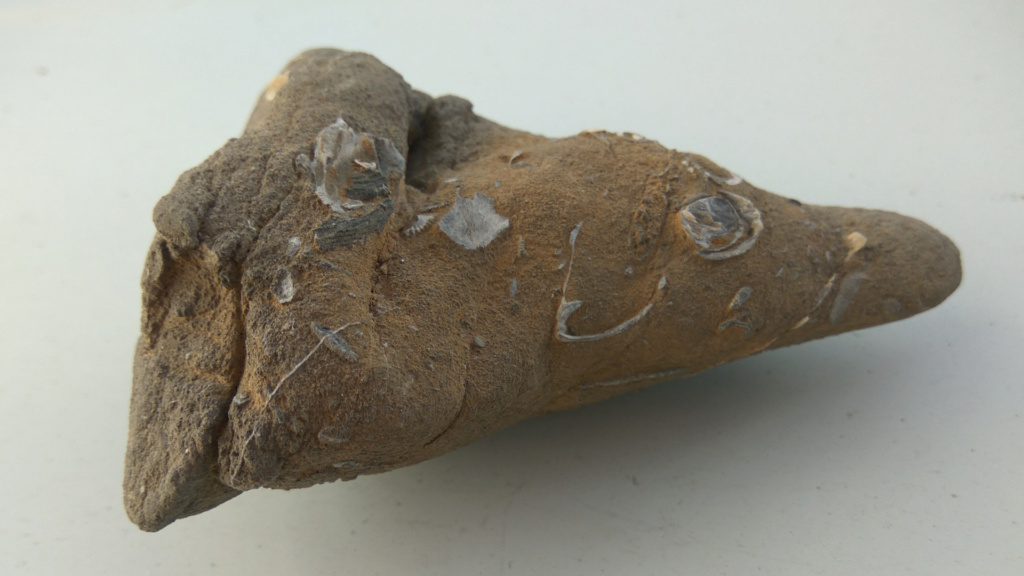 Roca arenisca con restos de conchas de bivalvos fósiles 414