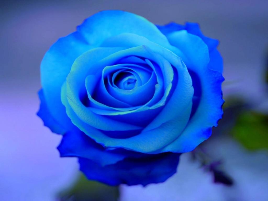 ::Desfile de Rosas AMDA::Hoy se presenta la Rosa Azul AMDA  Foto-d10