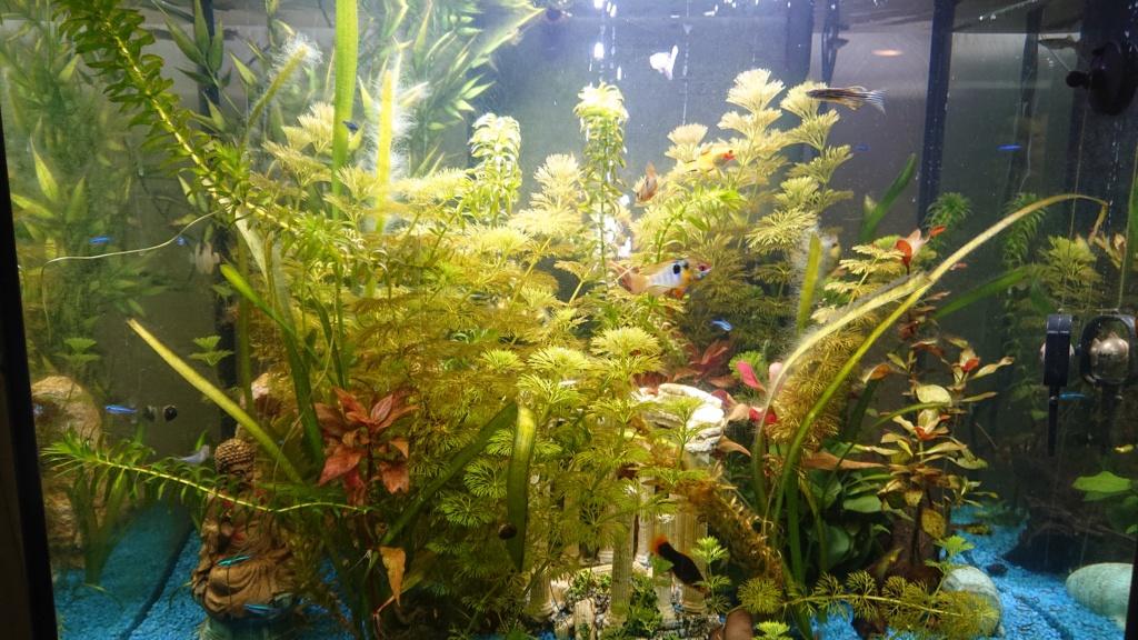 beaucoup d'algues Aquari11