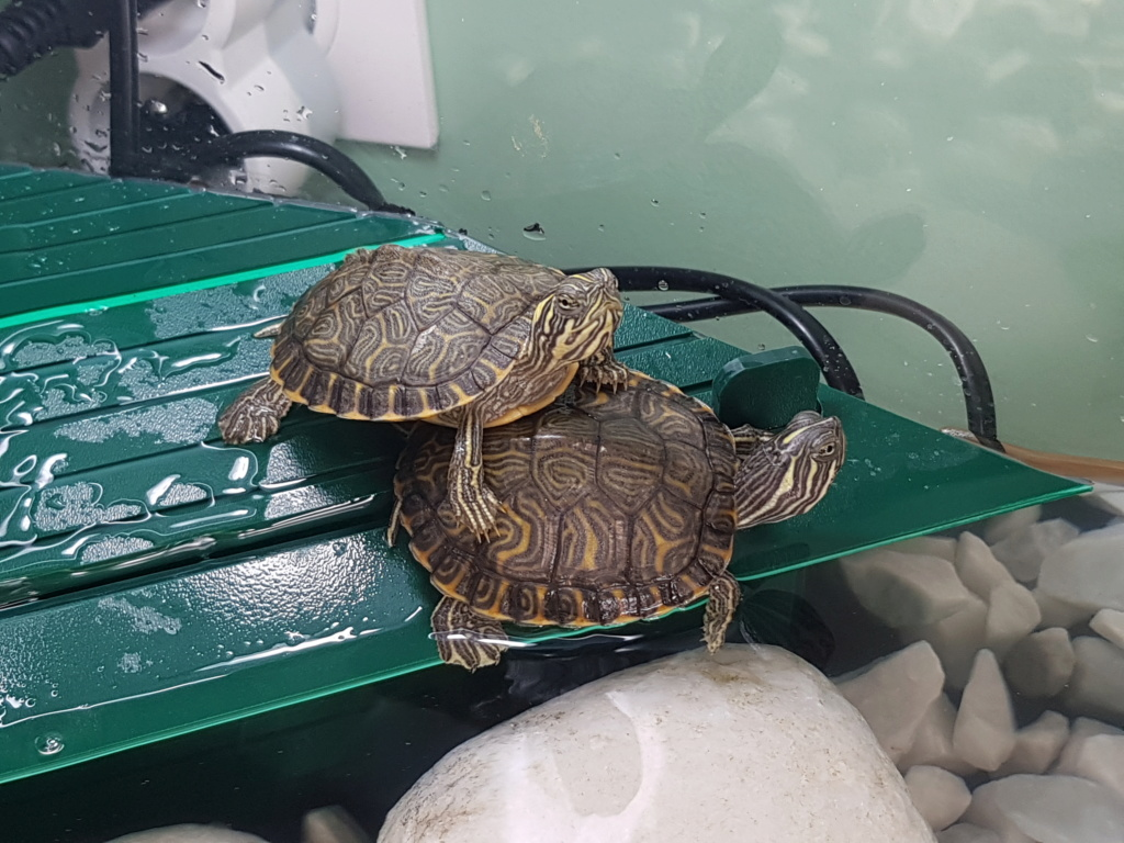 Identification de mes tortues svp 20181015