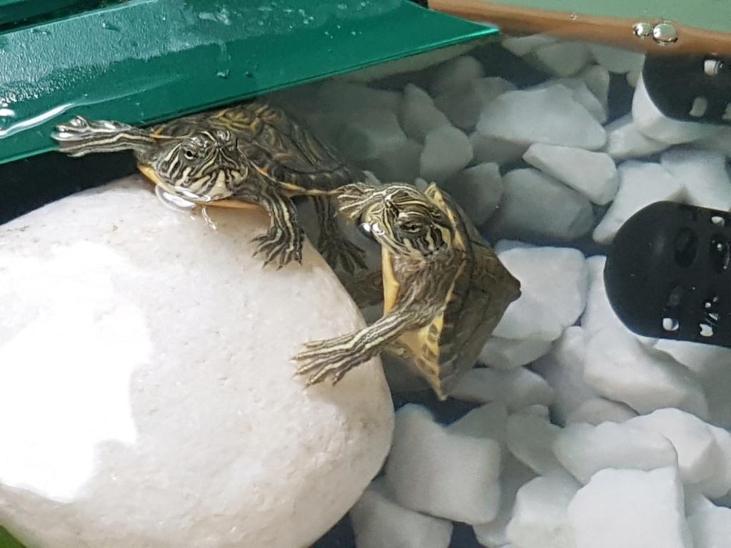 Identification de mes tortues svp 20181016